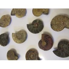 Ammonite Fossils 1-1.5 inch Madagascar